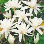 Alboplenum Colchicum – 3 bulbs