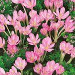 Byzantinum Colchicum – 5 bulbs