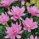 Waterlily Colchicum – 5 bulbs