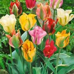 Mixed Viridiflora Tulips – 10 bulbs