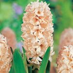 Apricot Passion Hyacinth – 10 bulbs