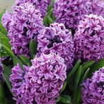 Miss Saigon Hyacinth – 10 bulbs