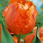 Orange Favourite Parrot Tulip – 10 bulbs