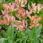 Green Wave Parrot Tulip – 10 bulbs