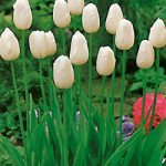Maureen Single Late Tulip – 10 bulbs