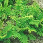 Lady Fern – 3 root divisions