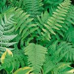 Leatherwood Fern – 3 root divisions