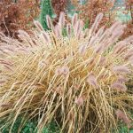 Hameln Fountain Grass – 3 plugs
