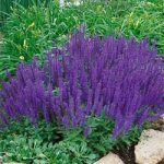 Blue Queen Salvia – 10 root divisions