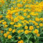 Summer Sun Heliopsis – 10 root divisions