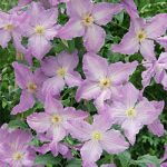 Blue Angel Clematis – 1 pre-started plant