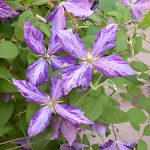 Tie Dye Clematis – 1 pre-started plant