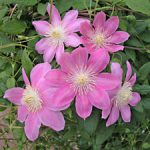 Irene Clematis – 1 pre-started plant