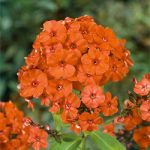 Orange Perfection Tall Summer Phlox – 3 root divisions