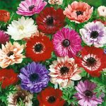 Mixed Anemone St. Brigid – 25 bulbs