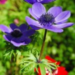 Mr. Fokker Anemone coronaria – 25 bulbs