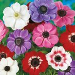 Mixed Anemone De Caen – 25 bulbs