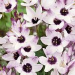 Blue Bird Ixia – 25 bulbs