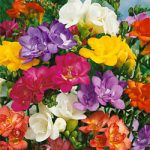 Mixed Double Freesia – 25 bulbs