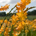 George Davidson Crocosmia – 5 bulbs