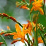 Norwich Canary Crocosmia – 5 bulbs