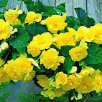 Yellow Hanging Basket Begonia – 3 tubers