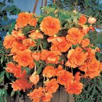 Orange Hanging Basket Begonia – 3 tubers
