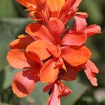 Burning Ember Dwarf Canna – 3 root divisions
