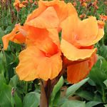 Orange Beauty Tall Canna – 3 root divisions