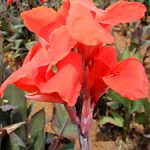 Red King Humbert Tall Canna – 3 root divisions