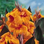 Wyoming Dwarf Canna – 3 root divisions