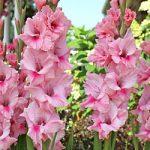 Tampico Gladiolus – 5 bulbs