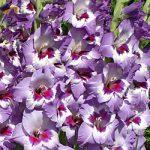 Vista Gladiolus – 5 bulbs