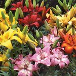 Mixed Asiatic Lilies – 25 bulbs