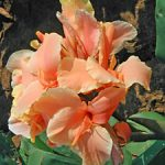 Tropical Sunrise Dwarf Canna – 3 root divisions
