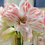 Dancing Queen Jumbo Amaryllis – 1 bulb