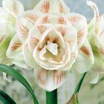Nymph Jumbo Amaryllis – 1 bulb