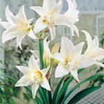 Jewel Jumbo Amaryllis – 1 bulb