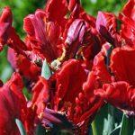 Rococo Parrot Tulip – 10 bulbs