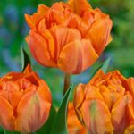 Orange Princess Double Late Tulip – 10 bulbs