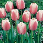 Ollioules Darwin Hybrid Tulip – 10 bulbs