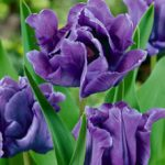 Blue Parrot Tulip – 10 bulbs