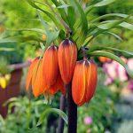 Aurora Crown Imperial Fritillaria – 1 bulb