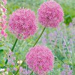 Giganteum Allium – 3 bulbs