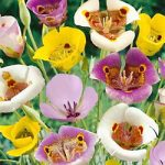 Mixed Calochortus – 10 bulbs