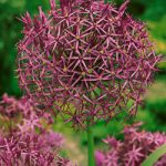 Christophii Allium – 5 bulbs