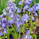 Excelsior Spanish Bluebells – 25 bulbs