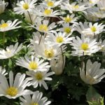 White Splendour Anemone blanda – 25 bulbs