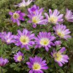Charmer Anemone blanda – 25 bulbs