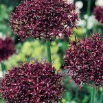 Atropurpureum Allium – 5 bulbs